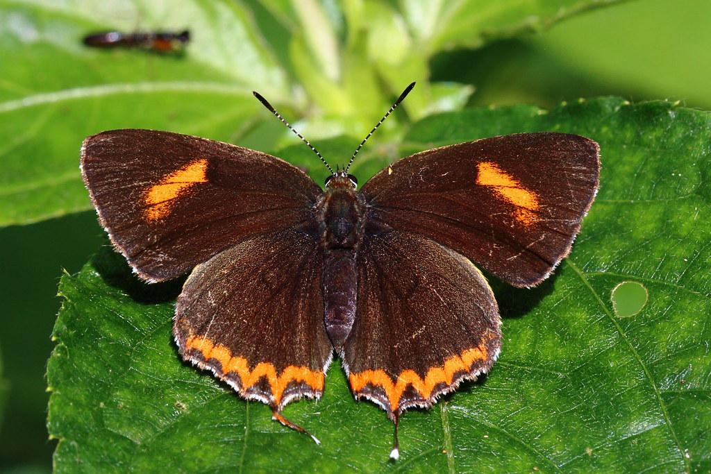 Heliophorus ila matsumurae (female) 紫日灰蝶 (雌) | 別稱紅邊黃小灰蝶 Heli… | Flickr