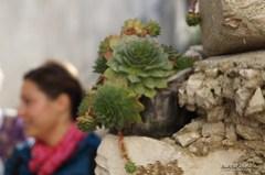 Čuvarkuća (Sempervivum tectorum)