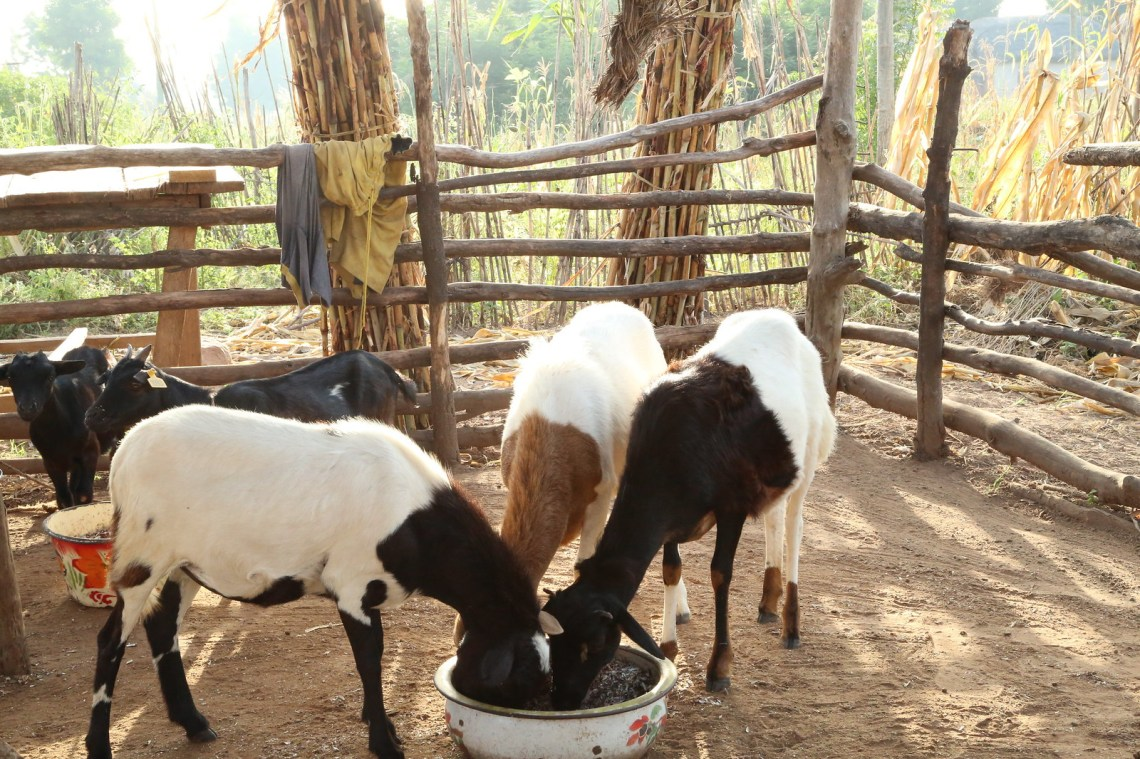 Goats and sheep feed on dried cowpea pods in Duko Community in northern Ghana. As part of its integrated crop-livestock systems research work, Africa RISING is assessing the viability of cowpea residue as dry season feeding option for small ruminants