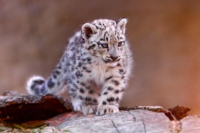 Cub on the log