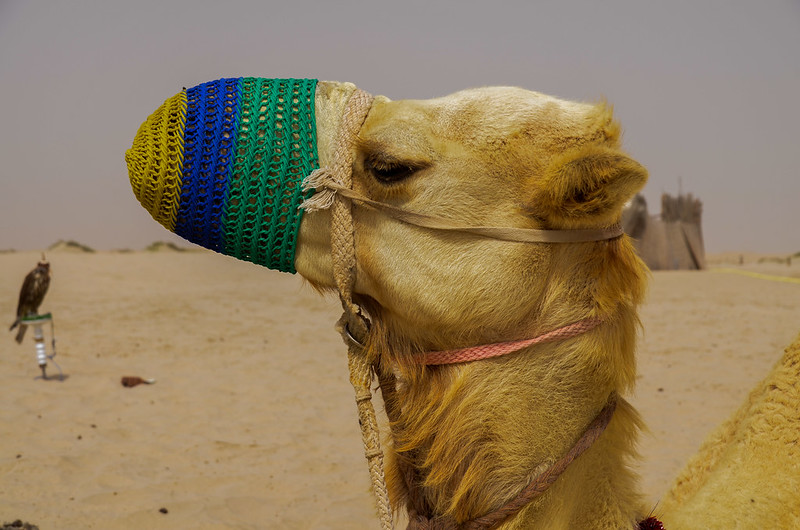Camel and falcon in Qatar's desert