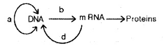 Plus Two Zoology Chapter Wise Previous Questions Chapter 4 Molecular Basis of Inheritance 4