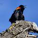 Red-winged Blackbird on a Dinosaur, Vernon, BC