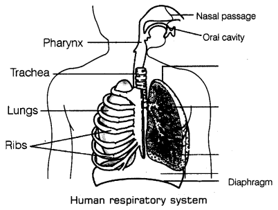 Respiration in Organisms Class 7 Notes Science Chapter 10 1