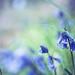 Bluebells in Longwood