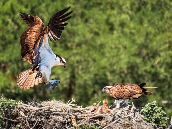 Urban, wild Osprey nest