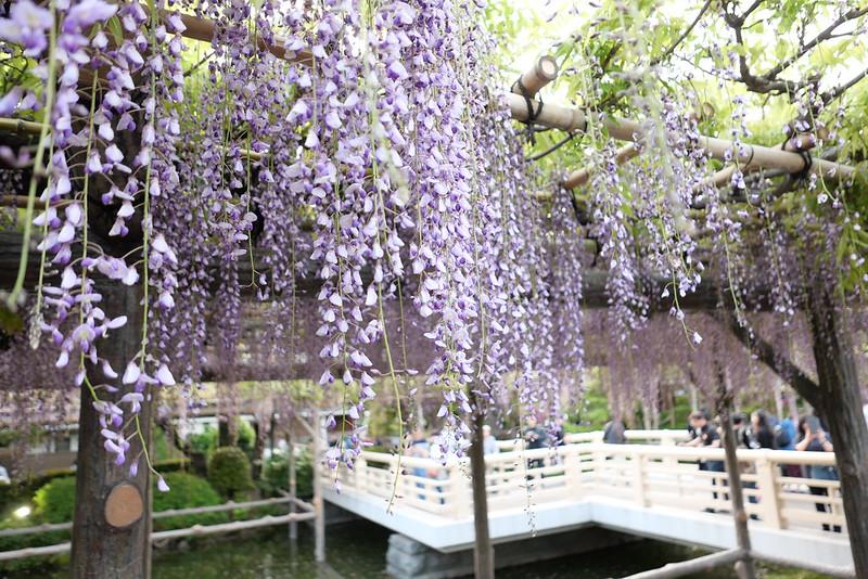 Kameido Tenjin Shrine wisteria festival 03