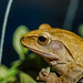 Golden Tree Frog