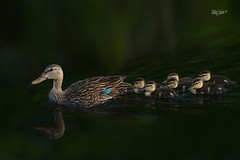Mottled Duck Family