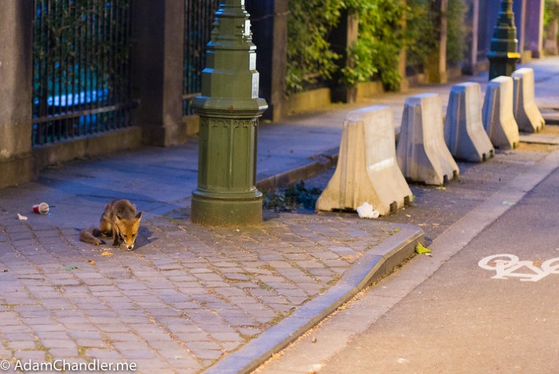 Eurotrip 2019 1  Wild Fox in Brussels