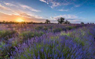 *Somerset lavender dream @ sunrise*