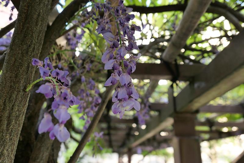 wisteria 築地川亀井橋公園