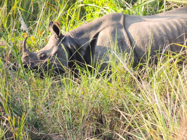 Rinoceronte de Asia