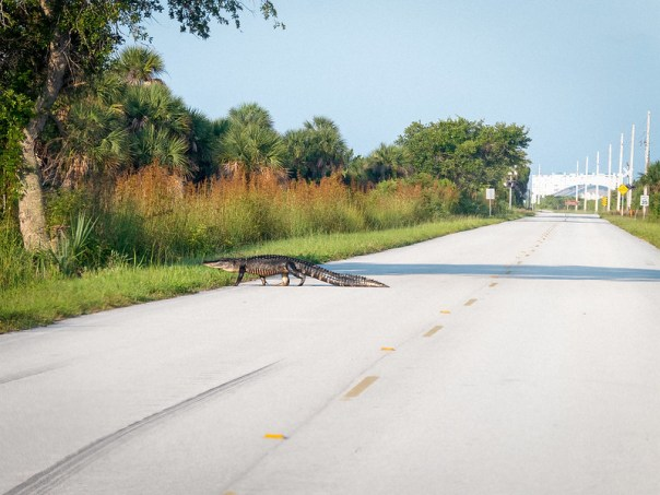 Why did the gator cross the road?