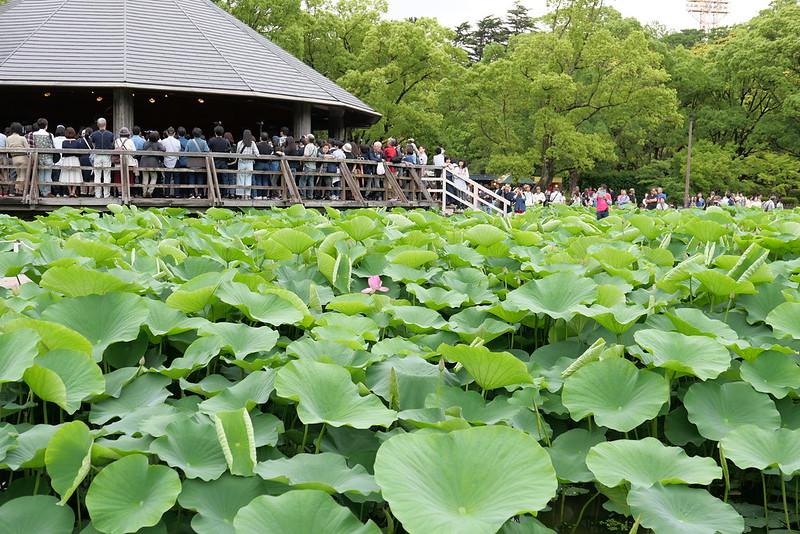 Ohga Lotus