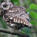 Eastern Screech Owl (Gray Morph)