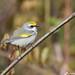 Female Golden-winged Warbler