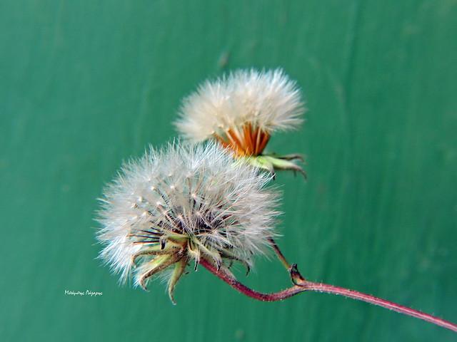 4_Reichardia picroides