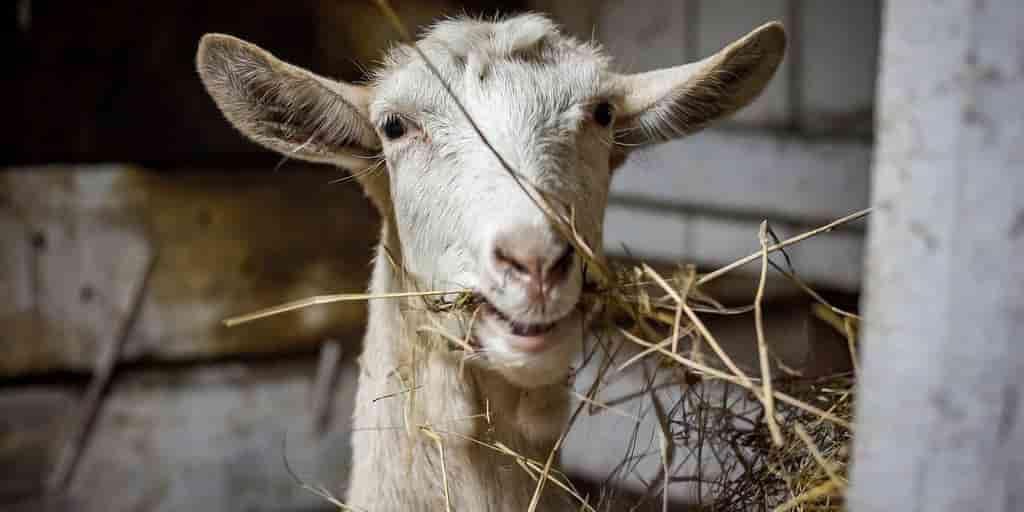 chèvres-dents-résistantes-roches-estomac