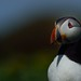 Atlantic puffin /Macareux moine