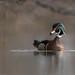 Wood duck / Canard branchu
