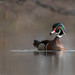 Wood duck / Canard branchu