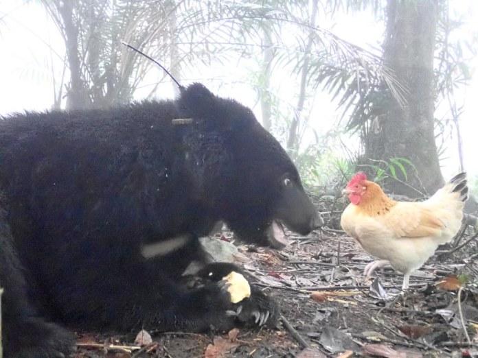 南安小熊Buni與熊麻雞。資料照,圖片提供:台灣黑熊保育協會。