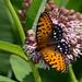 Regal Fritillary (Speyeria idalia), Kankakee Sands, Newton County, Indiana