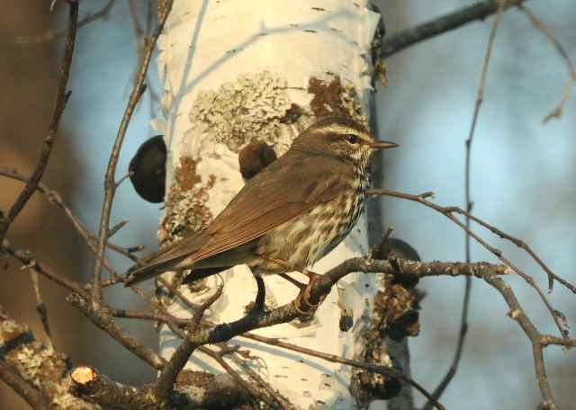 799 - NORTHERN WATER-THRUSH (6-14-2019) slate-colored, sockeyerd, north of willow, ak -03