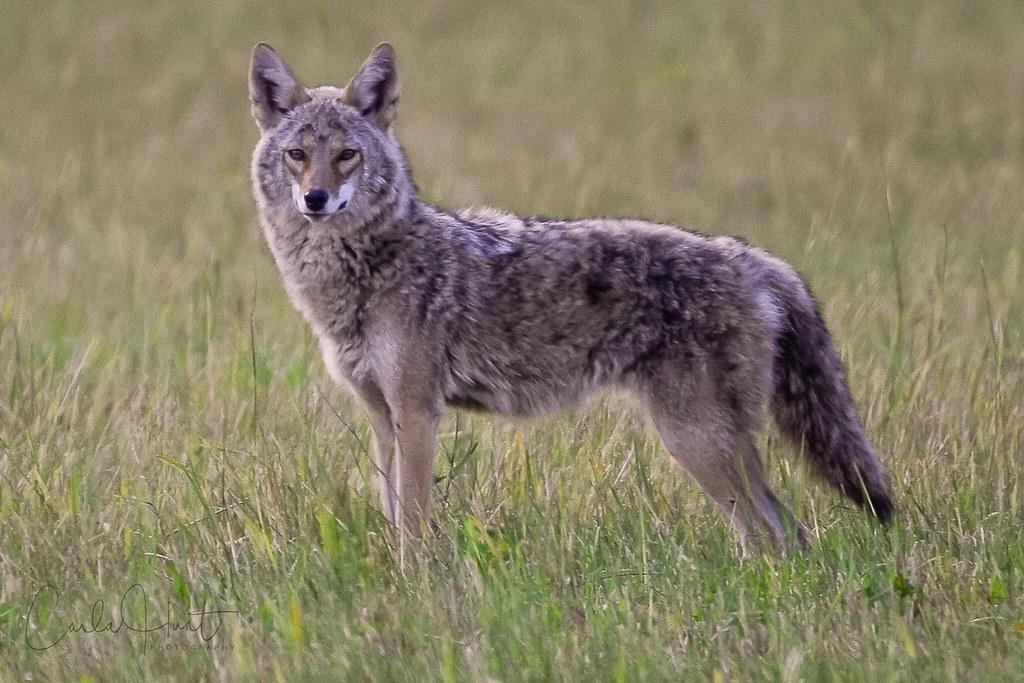 Coyote, Vernon, BC