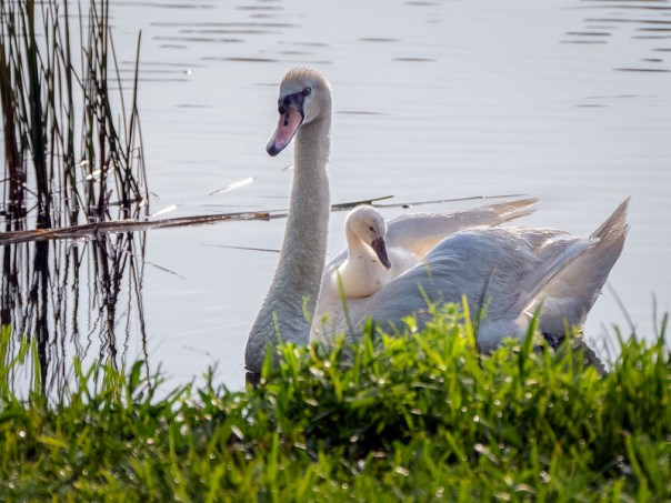 Mute Swan Mom carrying baby