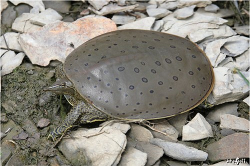 Eastern Spiny Softshell Turtle (Apalone s. spinifera)