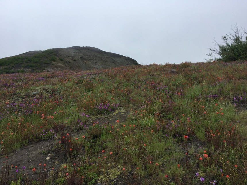 20190702_Wildflowers in bloom at MtStHelensNational Volcanic Monument.