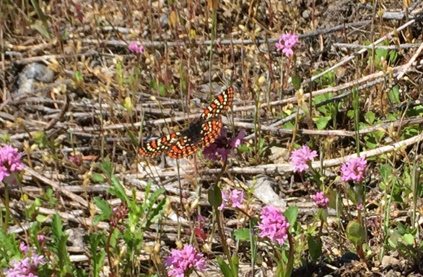 2019_Olympic_Taylor's Checkerspot on Sea-blush, photo by Karen Holtrop