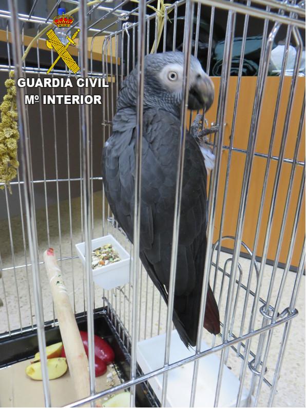 La Guardia Civil recupera en Gran Canaria un espécimen de ave protegida y en peligro de extinción