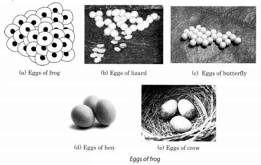 Reproduction in Animals Class 8 Science NCERT Textbook Questions A2