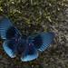 Metalmark butterfly (Lyropteryx apollonia)
