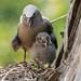 Brown Noddy Tern with chick 501_9025.jpg