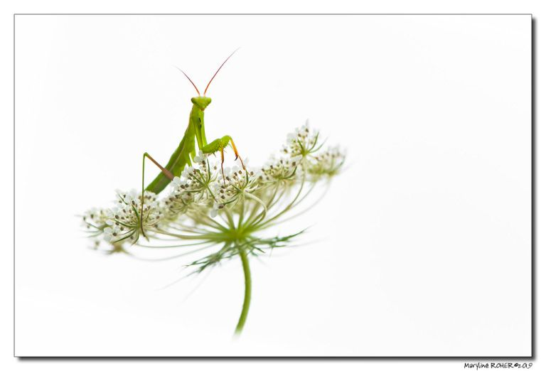Mantis Religiosa - Mante Religieuse (High Key)