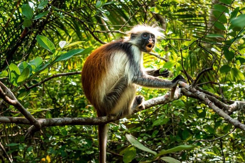 Zanzibari Red Colobus Monkey