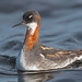 Red necked Phalarope (Explored!)