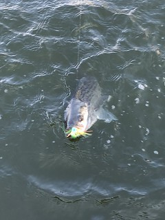 Photo of Striped Bass on the line and in the water