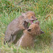 Fox Cubs playtime