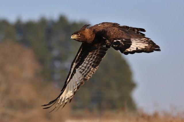 Long-crested eagle, Lophaetus occipitalis, at Dullstroom Bird of Prey & Rehabilitation Centre (captive, tame, flown).