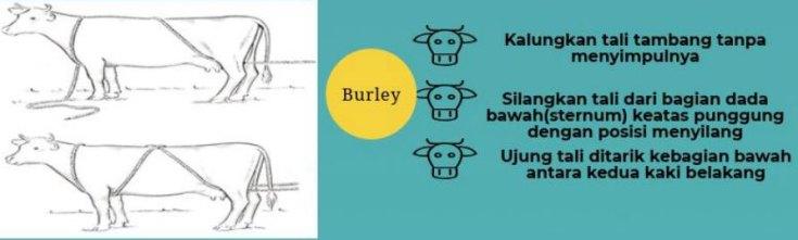 teknik-burley-rope-merobohkan-sapi