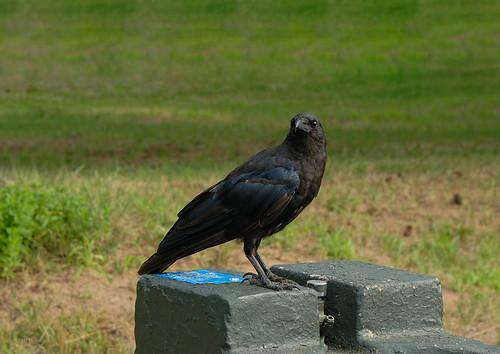 DSC_7122_Raven | 烏鴉 | tonyew2008 | Flickr
