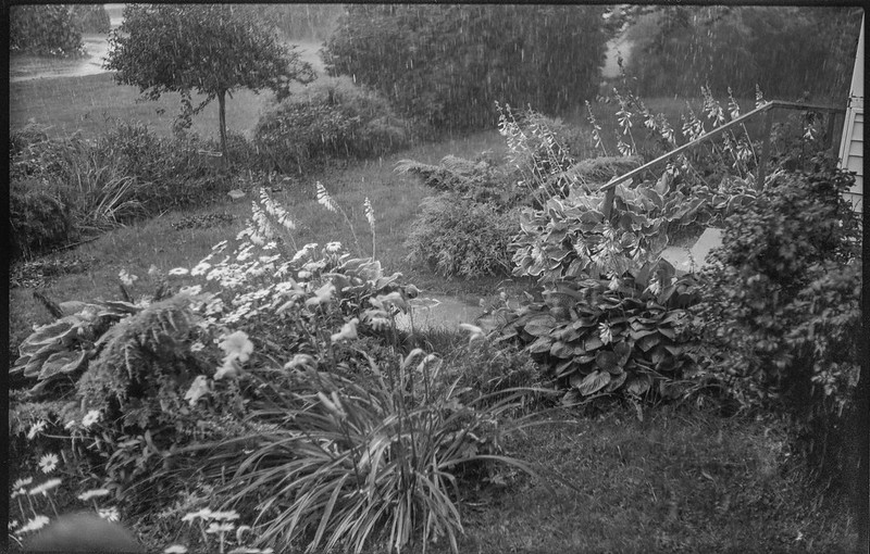 afternoon downpour, blooming hostas, yard, Rockland, Maine, Ercona II, Bergger Pancro 400, HC-110 developer, 8.10.19