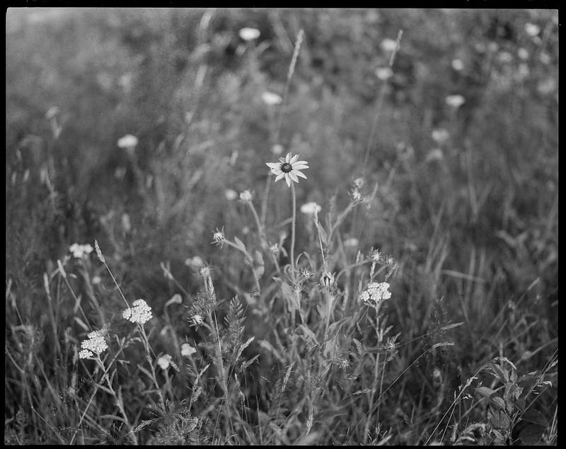 wildflowers, field, Fort Point, Saint George, Maine, Koni Omega Rapid 200, Super Omegon 90mm f-3.5, Arista.Edu 200, HC-110 developer, July 2019