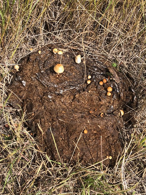 Grasslands National Park West Block - little bison poo mushroom