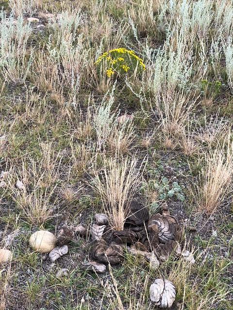 Grasslands National Park West Block - bison poop and flower